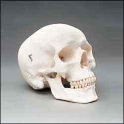 HumanSkull